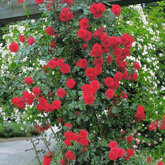 Роза плетистая Симпатия изображение 4