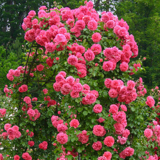 Роза плетистая Ютерсен изображение 6