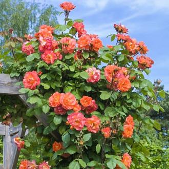 Роза плетистая Вестерленд изображение 1