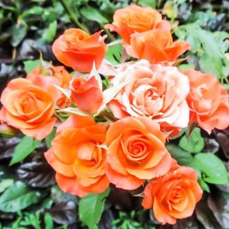Роза спрей Алегрия изображение 2
