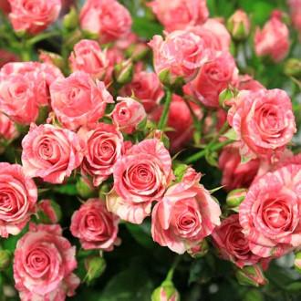 Роза спрей Барбадос изображение 5