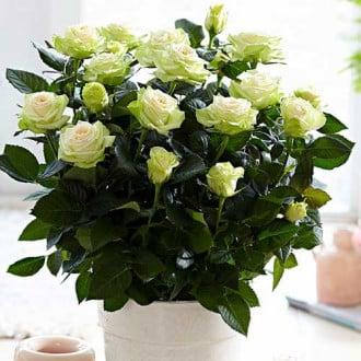 Роза спрей Грин Глоу изображение 7