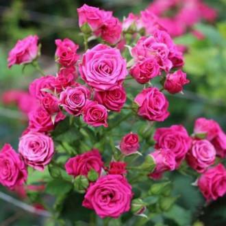 Роза спрей Лавли Лидия изображение 6