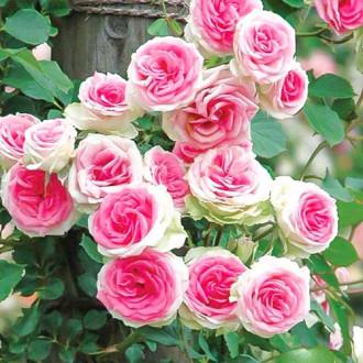 Роза спрей Мими Эден изображение 5