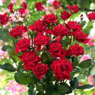 Роза спрей Мирабель изображение 2