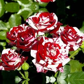 Роза спрей Найт Флеш изображение 3