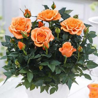Роза спрей Оранж Бейби изображение 1