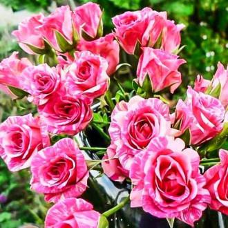 Роза спрей Пинк Флеш изображение 7