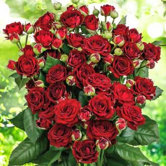 Роза спрей Ред Сенсейшн изображение 8