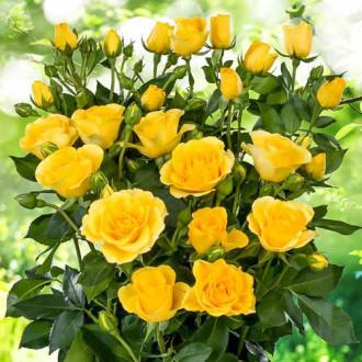 Роза спрей Сан Сити изображение 4