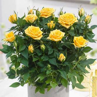 Роза спрей Санторини изображение 3
