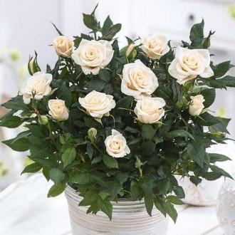 Роза спрей Сноу Дэнс изображение 4