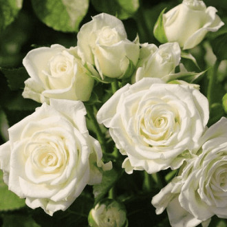 Роза спрей Вайт Лидия изображение 8