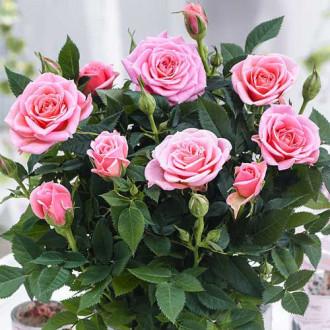 Роза спрей Виктория изображение 5