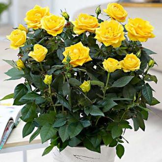 Роза спрей Йеллоу Стар изображение 6