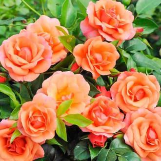 Роза флорибунда Априкола изображение 4