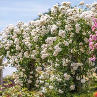 Роза плетистая Айсберг изображение 1