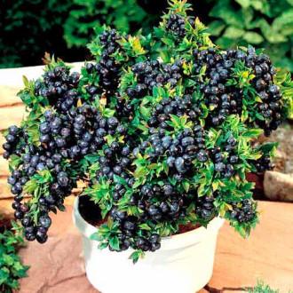 Черника садовая Топ Хат изображение 4