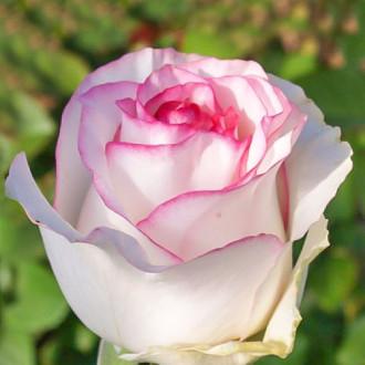 Роза чайно-гибридная Дольче Вита изображение 5