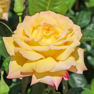 Роза чайно-гибридная Глория Дей изображение 4
