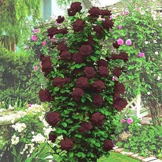 Роза плетистая Черная Королева изображение 2