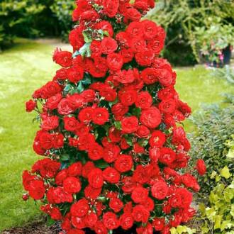 Роза плетистая Красная изображение 1