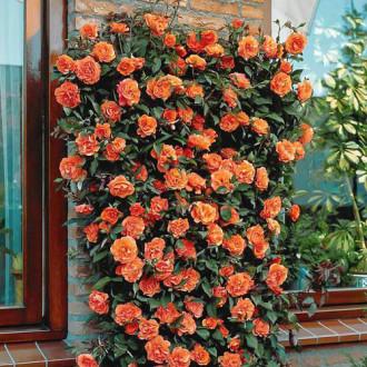 Роза плетистая Оранжевая изображение 2
