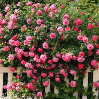 Роза плетистая Розовая изображение 4