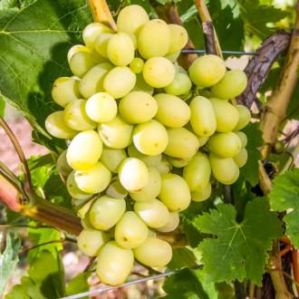 Виноград Макси белый изображение 3