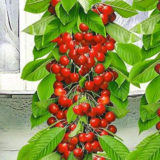 Черешня колоновидная красная изображение 7