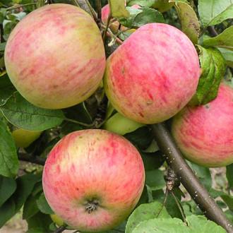 Яблоня Антоновка десертная изображение 5