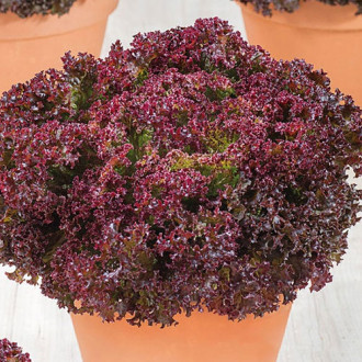 Салат листовой Пушкин Premium Seeds изображение 7