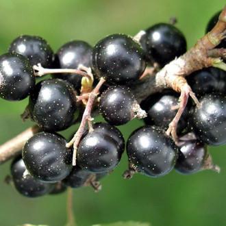 Смородина черная Санюта изображение 7