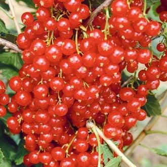 Смородина красная Сахарная изображение 6