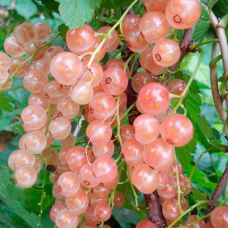 Смородина розовая Розовый жемчуг изображение 3