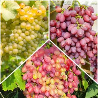 Суперпредложение! Комплект бессемянного винограда из 3 сортов изображение 6