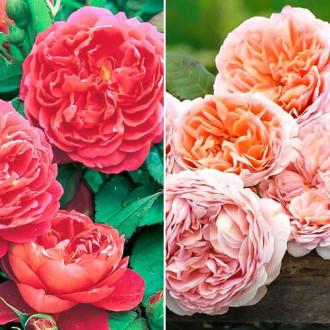 Суперпредложение! Комплект английских роз Дуо из 2 сортов изображение 8