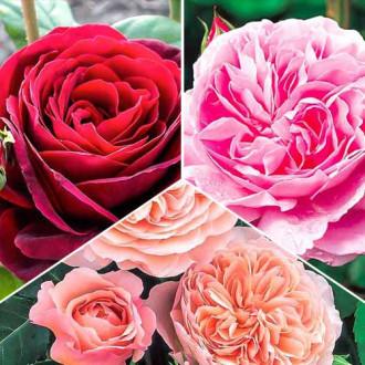 Суперпредложение! Комплект английских роз Триколор из 3 сортов изображение 5