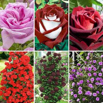 Суперпредложение! Комплект чайно-гибридных и плетистых роз из 6 сортов изображение 4