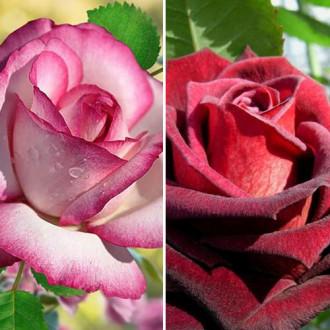 Суперпредложение! Комплект чайно-гибридных роз Блэк энд Вайт из 2 сортов изображение 7