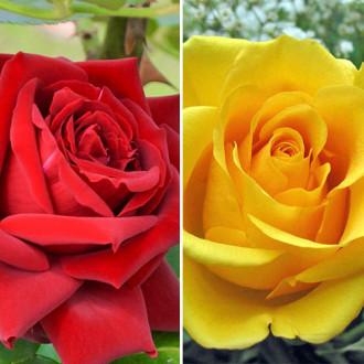 Суперпредложение! Комплект чайно-гибридных роз Дуо из 2 сортов изображение 8