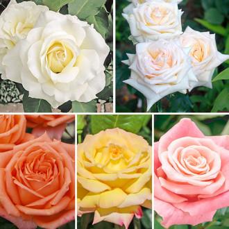 Суперпредложение! Комплект чайно-гибридных роз Парфюм из 5 сортов изображение 4