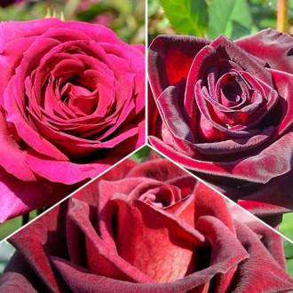 Суперпредложение! Комплект чайно-гибридных роз Триколор из 3 сортов изображение 7