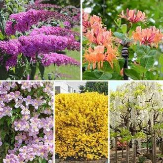 Суперпредложение! Комплект Цветущая изгородь из 5 саженцев изображение 6
