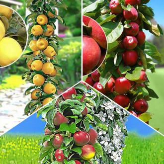 Суперпредложение! Комплект колоновидных яблонь Гурман из 3 саженцев изображение 4