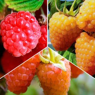 Суперпредложение!Комплект малины крупноплодной из 3 саженцев изображение 3