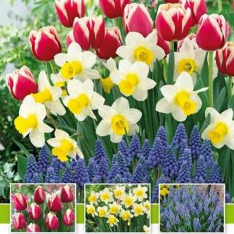 Суперпредложение! Комплект нарциссов, тюльпанов, мускари из 30-ти луковиц изображение 1