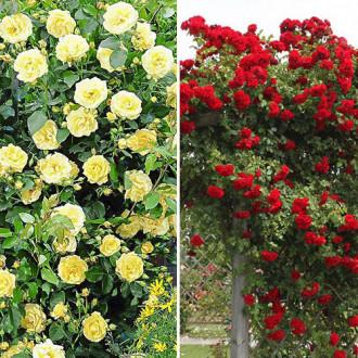 Суперпредложение! Комплект плетистых роз Дуо из 2 сортов изображение 5