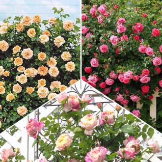 Суперпредложение! Комплект плетистых роз Трио из 3 сортов изображение 7