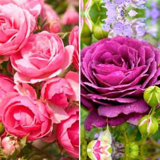 Суперпредложение! Комплект роз флорибунд Дуо из 2 сортов изображение 3